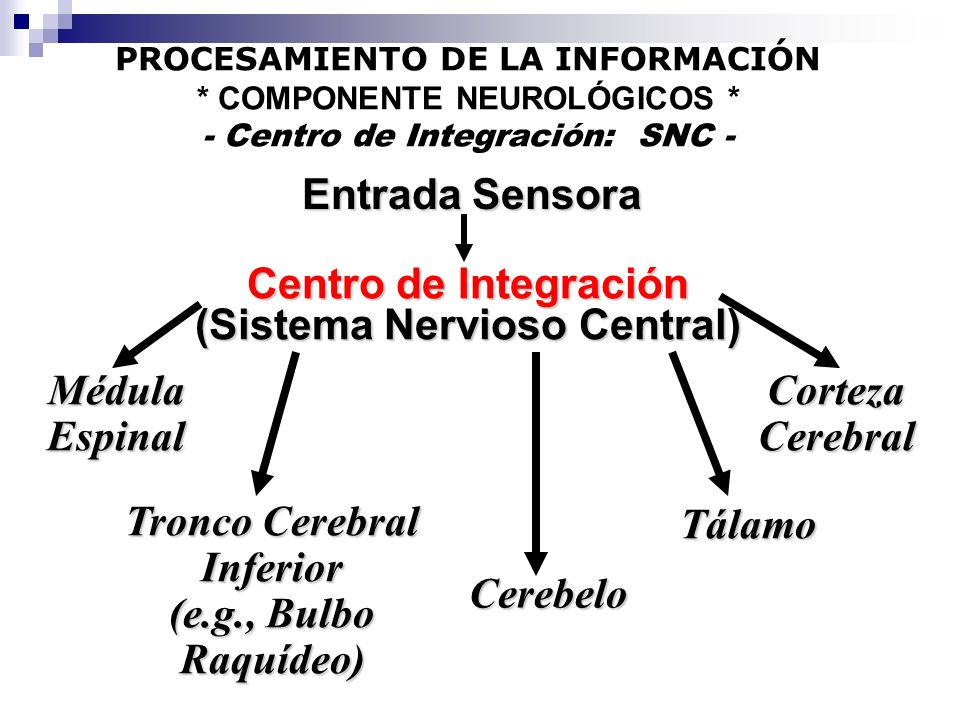 Entrada Sensora Centro de Integración (Sistema Nervioso Central) MédulaEspinalCortezaCerebral Tronco Cerebral Inferior (e.g., Bulbo Raquídeo) Cerebelo