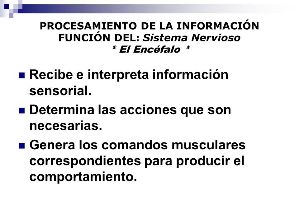 PROCESAMIENTO DE LA INFORMACIÓN FUNCIÓN DEL: Sistema Nervioso * El Encéfalo * Recibe e interpreta información sensorial. Determina las acciones que so