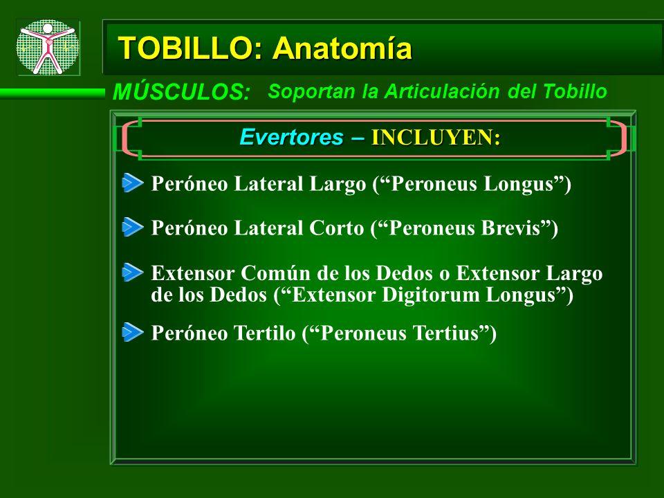 TOBILLO: Anatomía MÚSCULOS: Soportan la Articulación del Tobillo Flexores Plantar – INCLUYEN: Gastronemio (Gastrocnemius) Sóleo (Soleus) Tibial Posterior (Tibialis Posterior) Peróneo Lateral Largo (Peroneus Longus) Peróneo Lateral Corto (Peroneus Brevis) Flexor Largo de los Dedos (Flexor Digitorium Longus) Flexor Largo del Hallux (Flexor Hallicus Longus) Plantar Delgado (Plantaris)