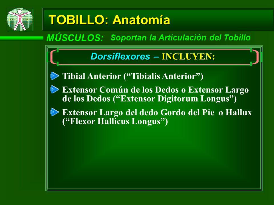 TOBILLO: Anatomía MÚSCULOS: Soportan la Articulación del Tobillo Dorsiflexores – INCLUYEN: Tibial Anterior (Tibialis Anterior) Extensor Común de los D