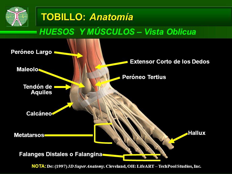 TOBILLO: Anatomía HUESOS Y MÚSCULOS – Vista Oblicua NOTA: De: (1997) 3D Super Anatomy. Cleveland, OH: LifeART – TechPool Studios, Inc. Calcáneo Tendón