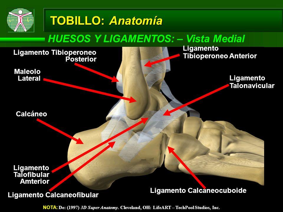 TOBILLO: Anatomía HUESOS Y LIGAMENTOS: – Vista Medial NOTA: De: (1997) 3D Super Anatomy. Cleveland, OH: LifeART – TechPool Studios, Inc. Ligamento Tal