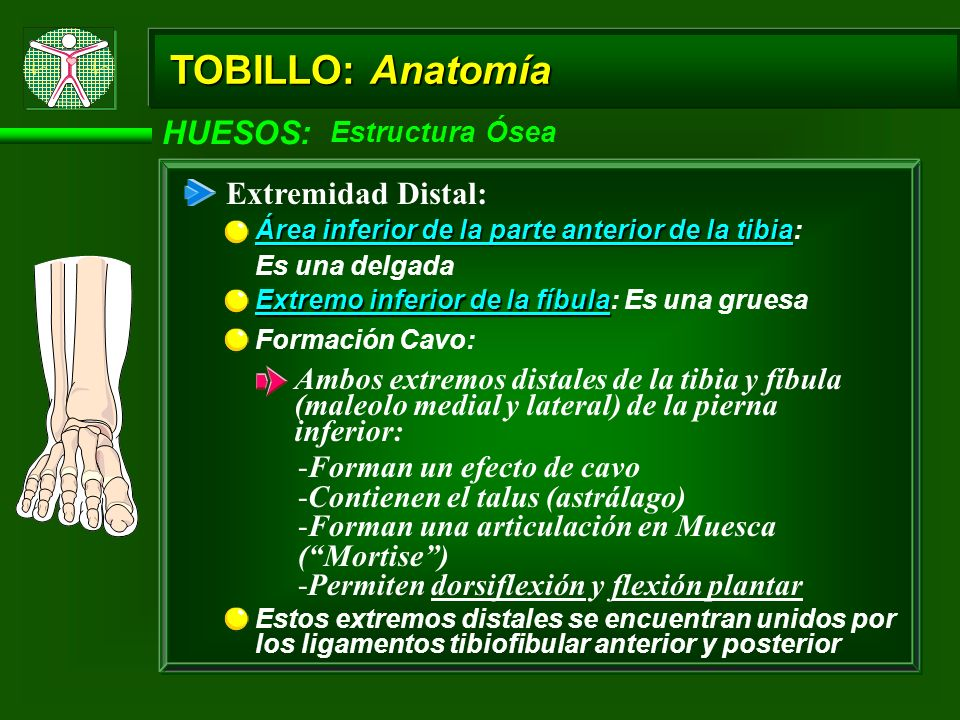 TOBILLO: Anatomía HUESOS: Estructura Ósea - Extremo Distal Maleolo Interno (o distal, medial o tibial): Aspecto: Proyección redondeada subcutánea Articulación talofibular (astragolofibular): Constituyentes: Unión entre el extremo distal de la fíbula y el talus (astrágalo) Maleolo externo (lateral o fibular): Aspecto: Proyección larga, la cual se extiende a lo largo del aspecto lateral del talus Borde áspero: Provee para insersiones ligamemtosas
