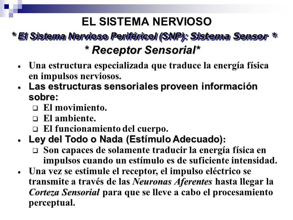 EL SISTEMA NERVIOSO * El Sistema Nervioso Periféricol (SNP): Sistema Sensor * * Receptor Sensorial* Una estructura especializada que traduce la energí