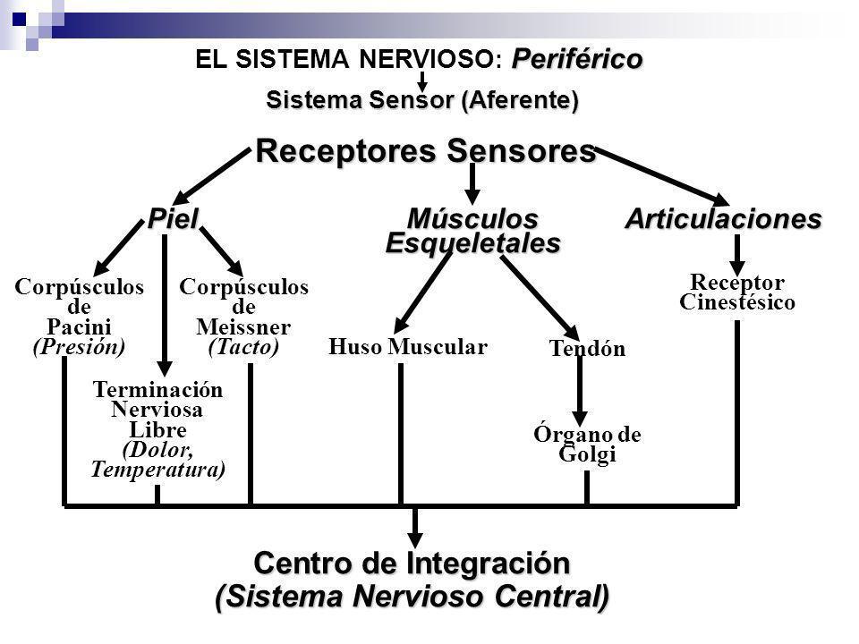 Periférico EL SISTEMA NERVIOSO : Periférico Sistema Sensor (Aferente) Receptores Sensores Piel Corpúsculos de Pacini (Presión) MúsculosEsqueletalesArt