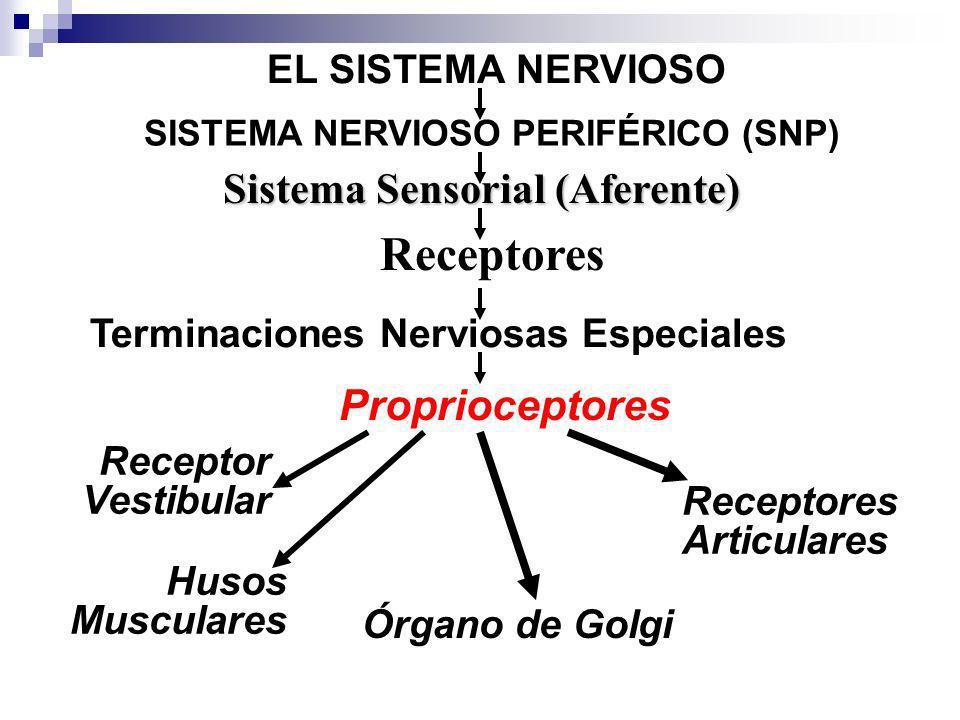 EL SISTEMA NERVIOSO Sistema Sensorial (Aferente) Proprioceptores SISTEMA NERVIOSO PERIFÉRICO (SNP) Receptores Terminaciones Nerviosas Especiales Husos