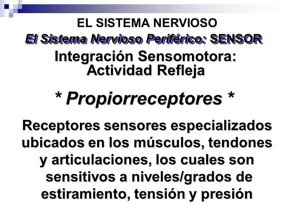 EL SISTEMA NERVIOSO El Sistema Nervioso Periférico: SENSOR Receptores sensores especializados ubicados en los músculos, tendones y articulaciones, los
