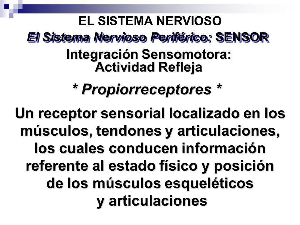 Un receptor sensorial localizado en los músculos, tendones y articulaciones, los cuales conducen información referente al estado físico y posición de