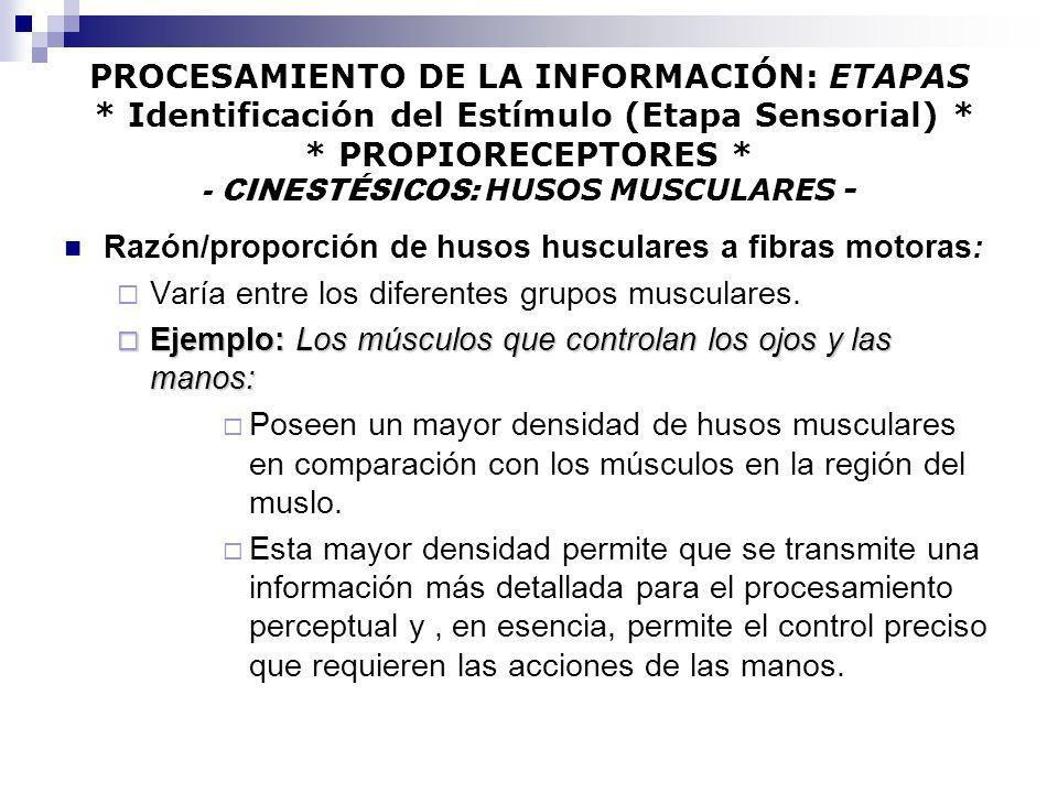 PROCESAMIENTO DE LA INFORMACIÓN: ETAPAS * Identificación del Estímulo (Etapa Sensorial) * * PROPIORECEPTORES * - CINESTÉSICOS: HUSOS MUSCULARES - Razó