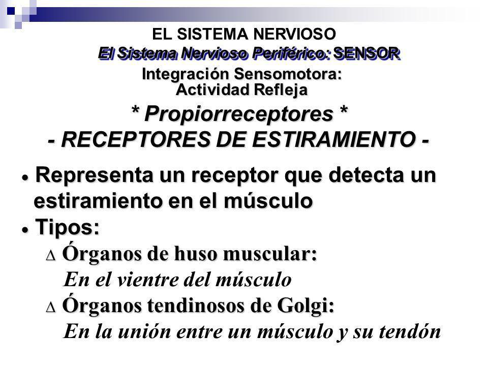 EL SISTEMA NERVIOSO Representa un receptor que detecta un Representa un receptor que detecta un estiramiento en el músculo estiramiento en el músculo