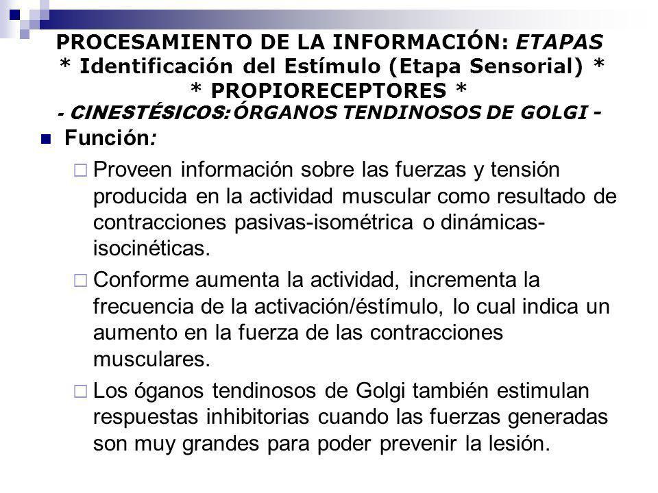 PROCESAMIENTO DE LA INFORMACIÓN: ETAPAS * Identificación del Estímulo (Etapa Sensorial) * * PROPIORECEPTORES * - CINESTÉSICOS: ÓRGANOS TENDINOSOS DE G