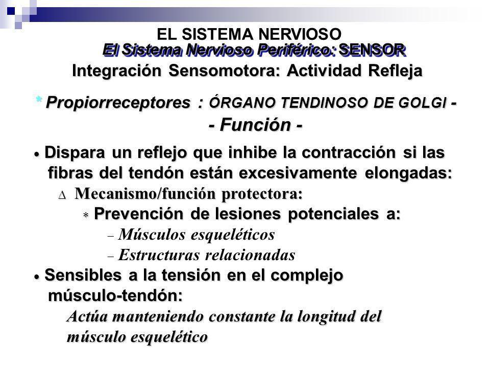 Dispara un reflejo que inhibe la contracción si las Dispara un reflejo que inhibe la contracción si las fibras del tendón están excesivamente elongada