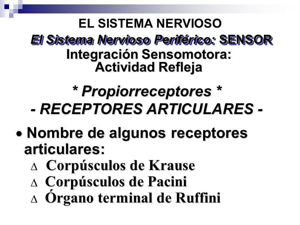 * Propiorreceptores * - RECEPTORES ARTICULARES - Nombre de algunos receptores Nombre de algunos receptores articulares: articulares: Corpúsculos de Kr