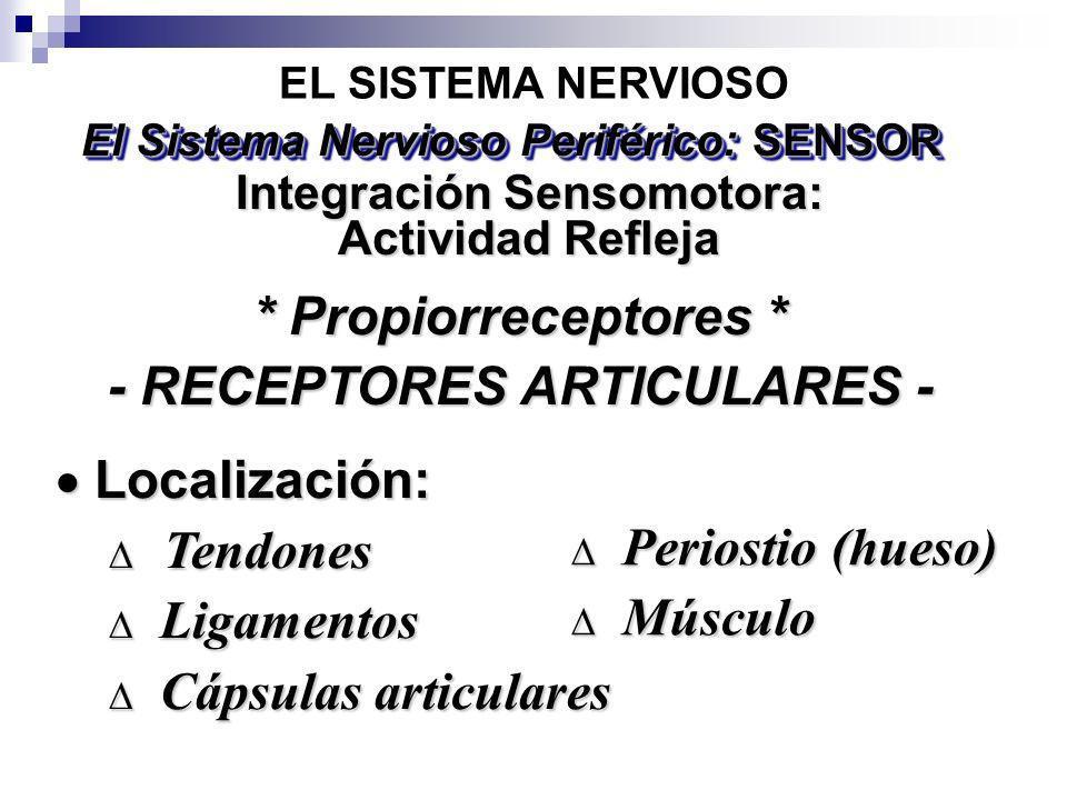 * Propiorreceptores * - RECEPTORES ARTICULARES - Localización: Localización: Tendones Tendones Ligamentos Ligamentos Cápsulas articulares Cápsulas art