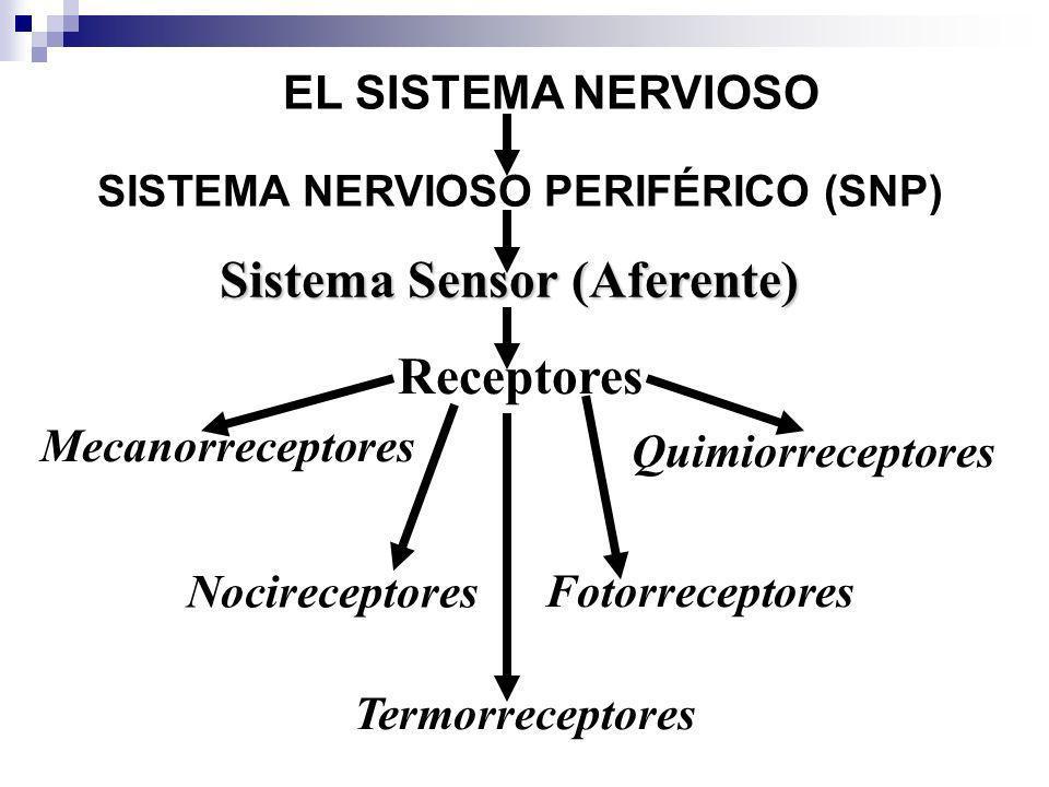 EL SISTEMA NERVIOSO Sistema Sensor (Aferente) Mecanorreceptores SISTEMA NERVIOSO PERIFÉRICO (SNP) Receptores Quimiorreceptores Termorreceptores Nocire