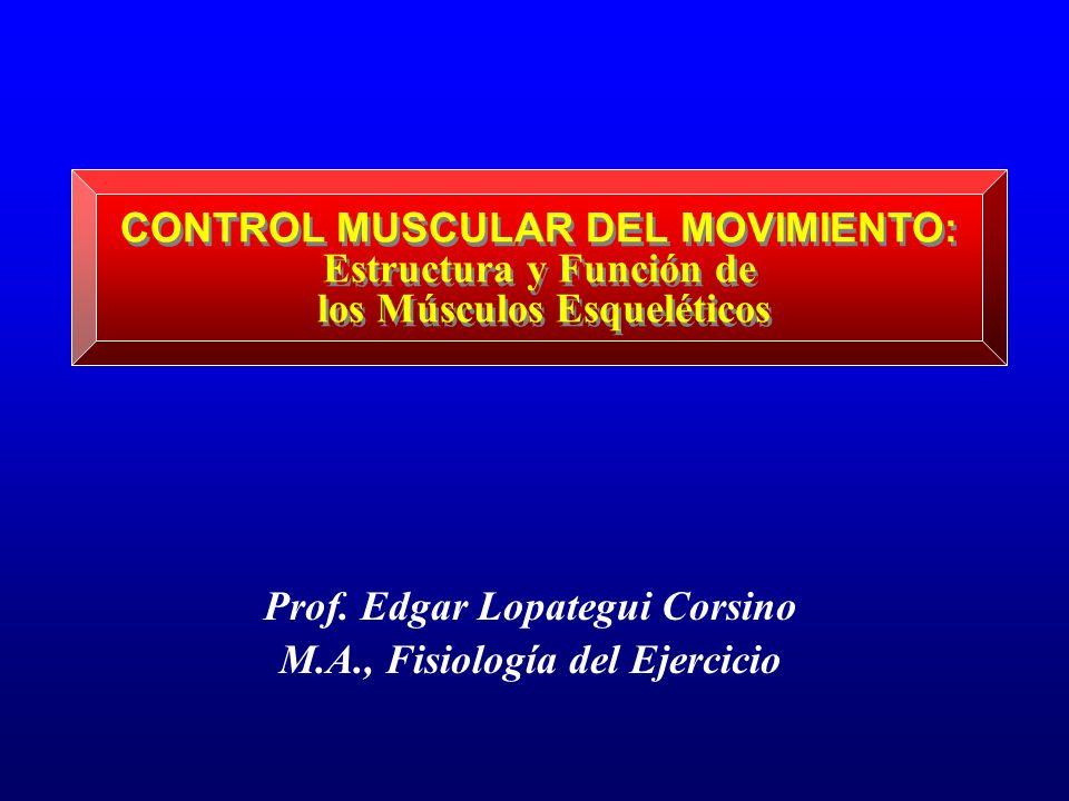 CONTROL MUSCULAR DEL MOVIMIENTO: Estructura y Función de los Músculos Esqueléticos Prof. Edgar Lopategui Corsino M.A., Fisiología del Ejercicio
