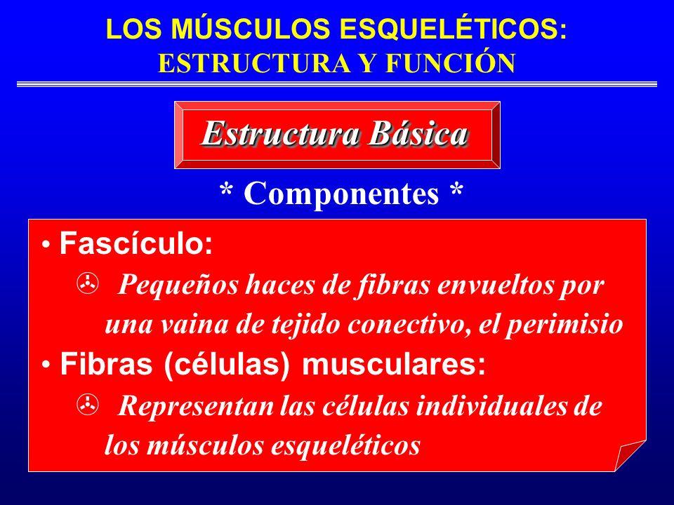 LOS MÚSCULOS ESQUELÉTICOS: ESTRUCTURA Y FUNCIÓN Estructura Básica * Componentes * Fascículo: Pequeños haces de fibras envueltos por una vaina de tejid