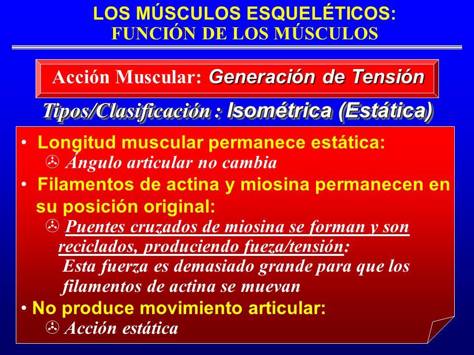 LOS MÚSCULOS ESQUELÉTICOS: FUNCIÓN DE LOS MÚSCULOS Tipos/Clasificación : Isométrica (Estática) Longitud muscular permanece estática: Ángulo articular