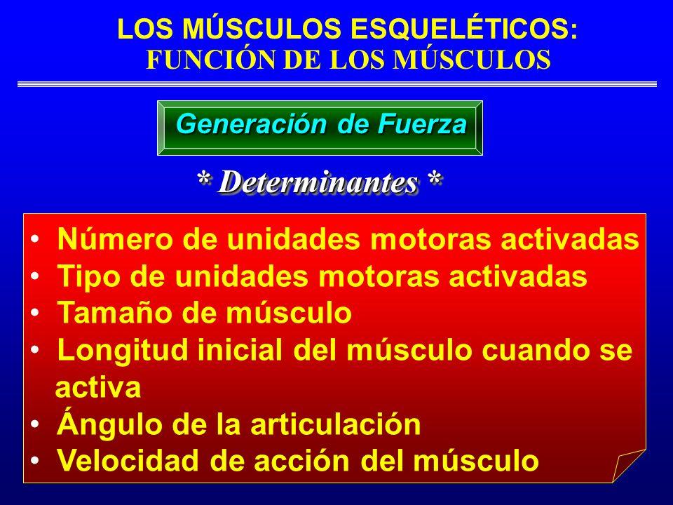 LOS MÚSCULOS ESQUELÉTICOS: FUNCIÓN DE LOS MÚSCULOS * Determinantes * Número de unidades motoras activadas Tipo de unidades motoras activadas Tamaño de