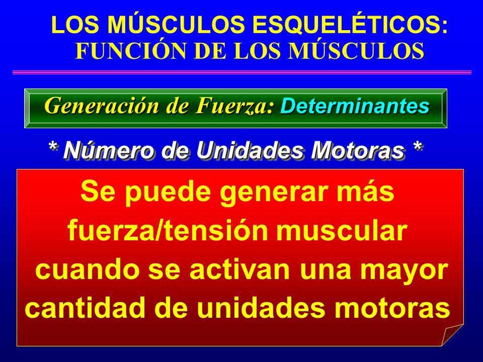 LOS MÚSCULOS ESQUELÉTICOS: FUNCIÓN DE LOS MÚSCULOS Se puede generar más fuerza/tensión muscular cuando se activan una mayor cantidad de unidades motor