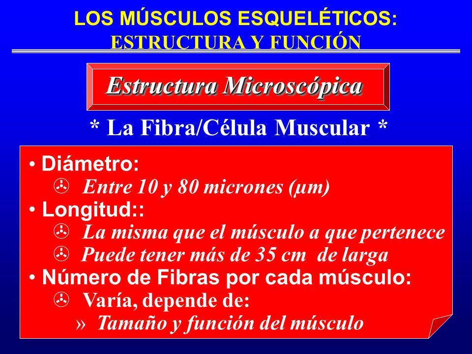LOS MÚSCULOS ESQUELÉTICOS: ESTRUCTURA Y FUNCIÓN * La Fibra/Célula Muscular * Estructura Microscópica Diámetro: Entre 10 y 80 micrones (µm) Longitud::