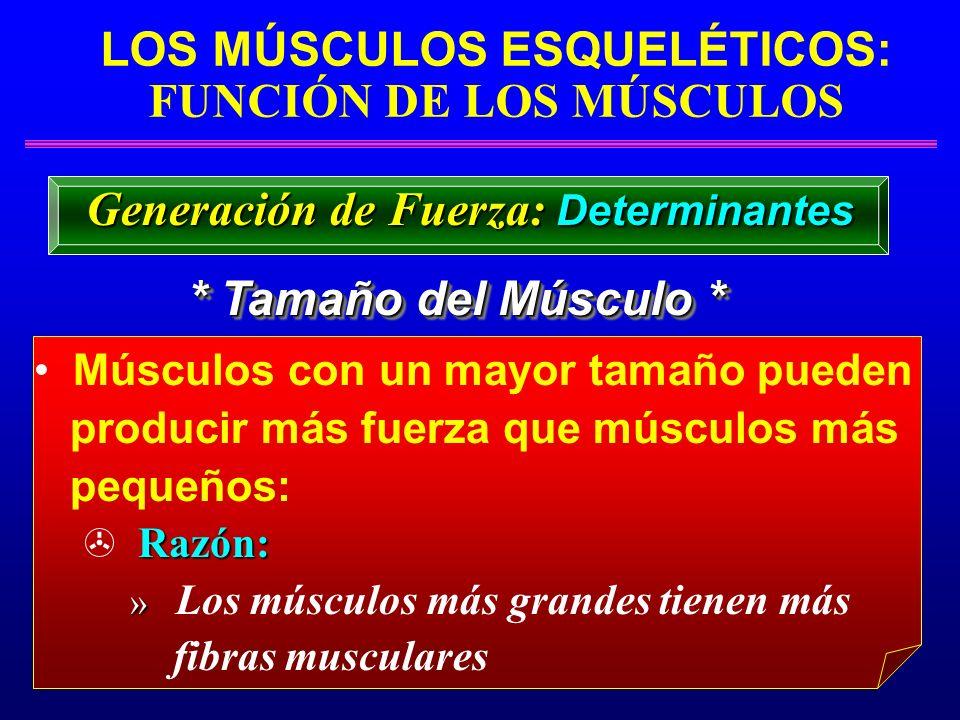 LOS MÚSCULOS ESQUELÉTICOS: FUNCIÓN DE LOS MÚSCULOS * Tamaño del Músculo * Generación de Fuerza: Determinantes Músculos con un mayor tamaño pueden prod