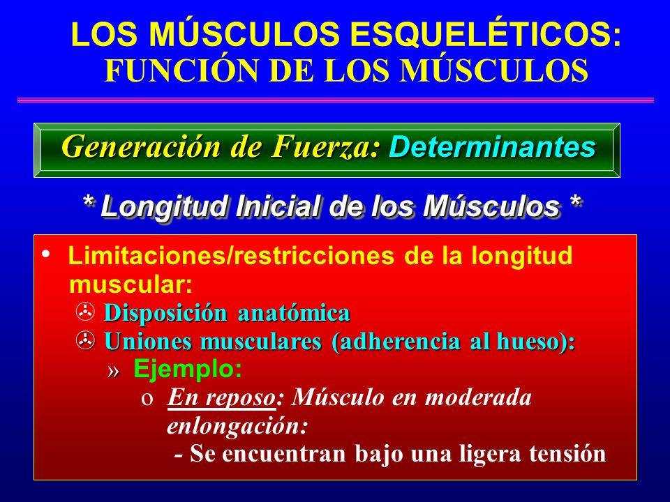 LOS MÚSCULOS ESQUELÉTICOS: FUNCIÓN DE LOS MÚSCULOS * Longitud Inicial de los Músculos * Generación de Fuerza: Determinantes Limitaciones/restricciones