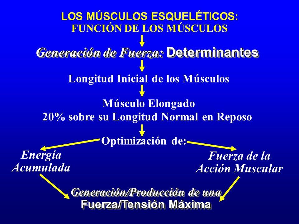 LOS MÚSCULOS ESQUELÉTICOS: FUNCIÓN DE LOS MÚSCULOS Generación de Fuerza: Determinantes Longitud Inicial de los Músculos Energía Acumulada Fuerza de la