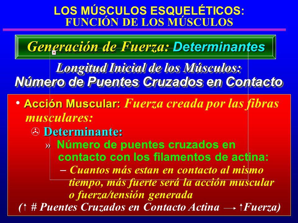 LOS MÚSCULOS ESQUELÉTICOS: FUNCIÓN DE LOS MÚSCULOS Longitud Inicial de los Músculos: Longitud Inicial de los Músculos: Número de Puentes Cruzados en C