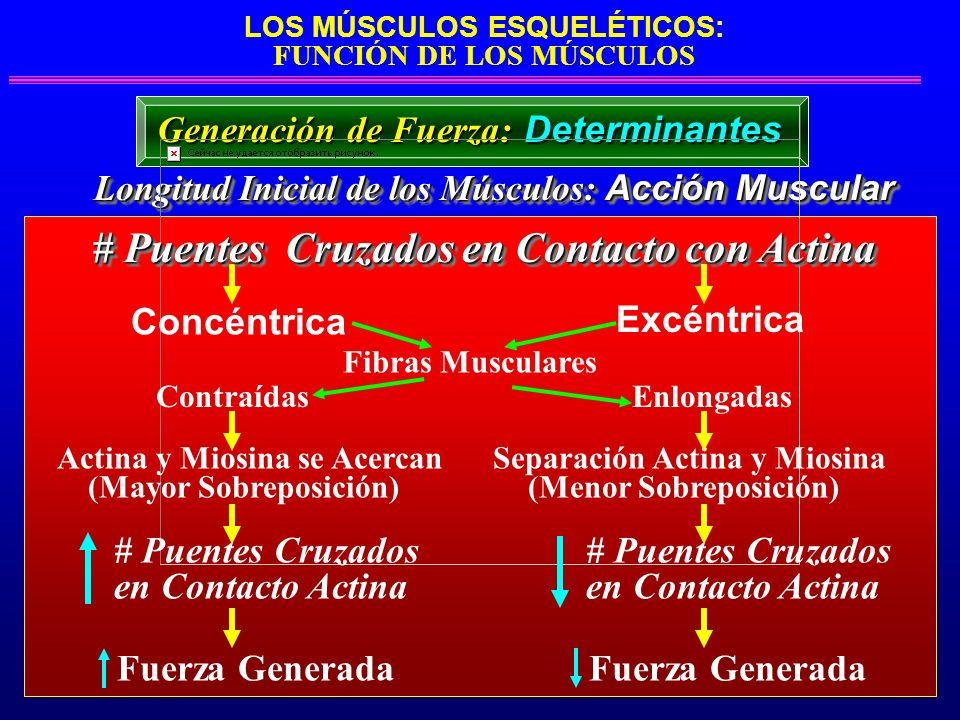 LOS MÚSCULOS ESQUELÉTICOS: FUNCIÓN DE LOS MÚSCULOS Longitud Inicial de los Músculos: Acción Muscular Longitud Inicial de los Músculos: Acción Muscular