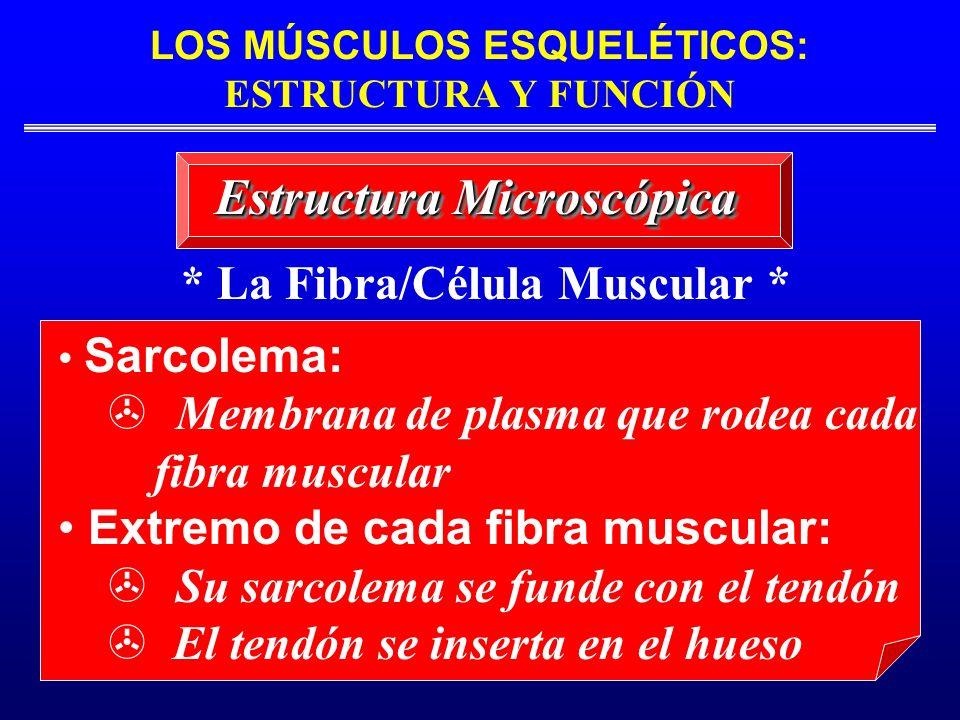 LOS MÚSCULOS ESQUELÉTICOS: ESTRUCTURA Y FUNCIÓN * La Fibra/Célula Muscular * Sarcolema: Membrana de plasma que rodea cada fibra muscular Extremo de ca