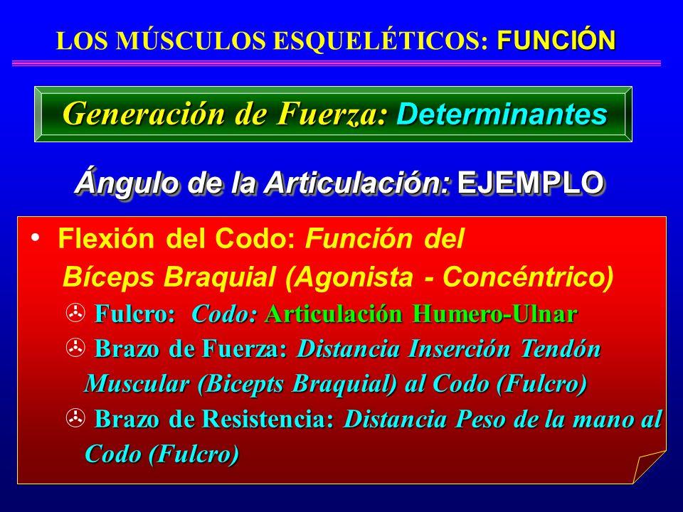 FUNCIÓN LOS MÚSCULOS ESQUELÉTICOS: FUNCIÓN Ángulo de la Articulación: EJEMPLO Flexión del Codo: Función del Bíceps Braquial (Agonista - Concéntrico) F