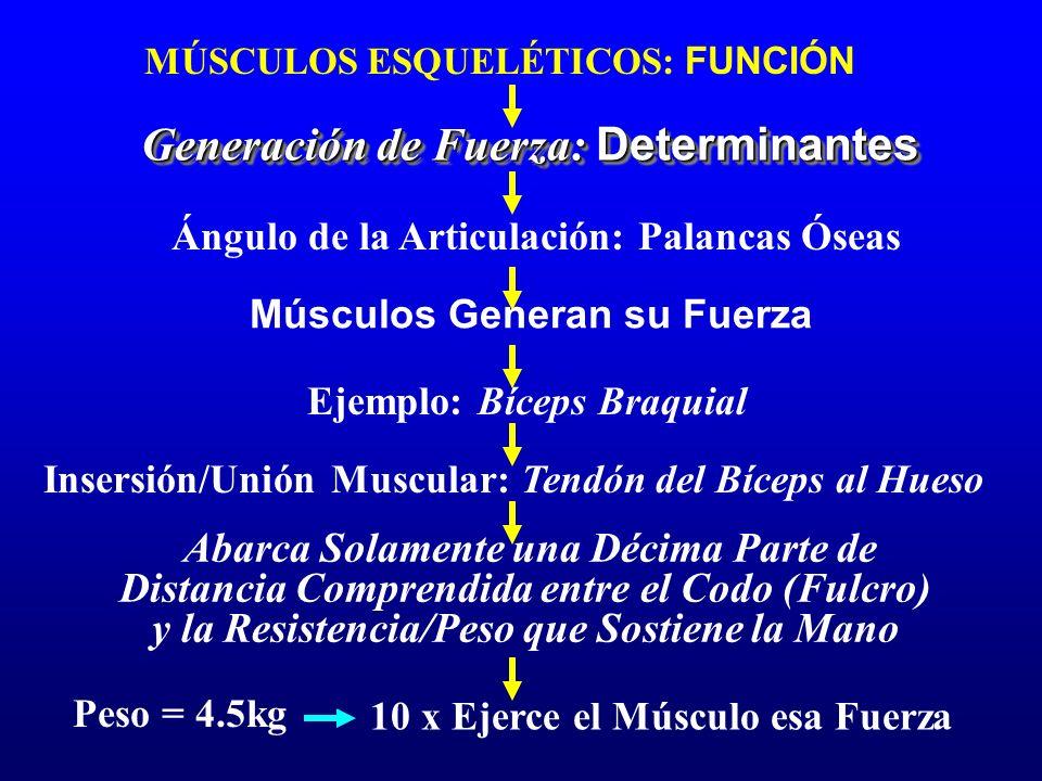 MÚSCULOS ESQUELÉTICOS: FUNCIÓN Generación de Fuerza: Determinantes Ángulo de la Articulación: Palancas Óseas Músculos Generan su Fuerza Ejemplo: Bícep