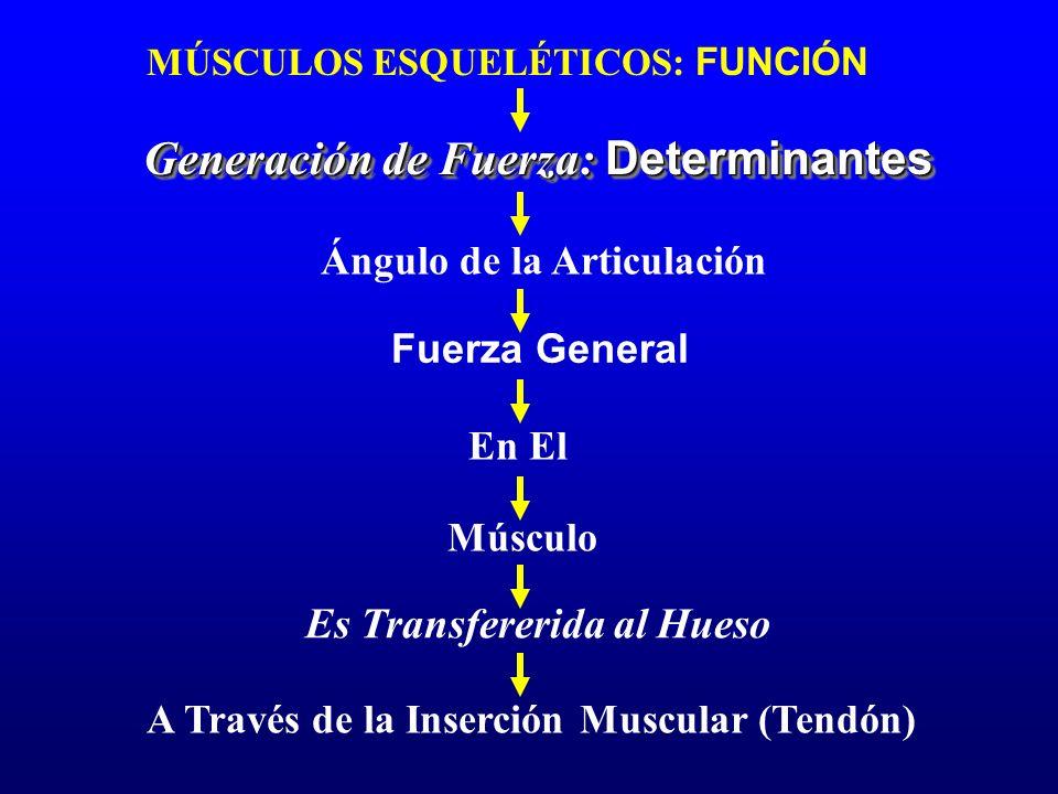 MÚSCULOS ESQUELÉTICOS: FUNCIÓN Generación de Fuerza: Determinantes Ángulo de la Articulación Fuerza General En El Músculo Es Transfererida al Hueso A