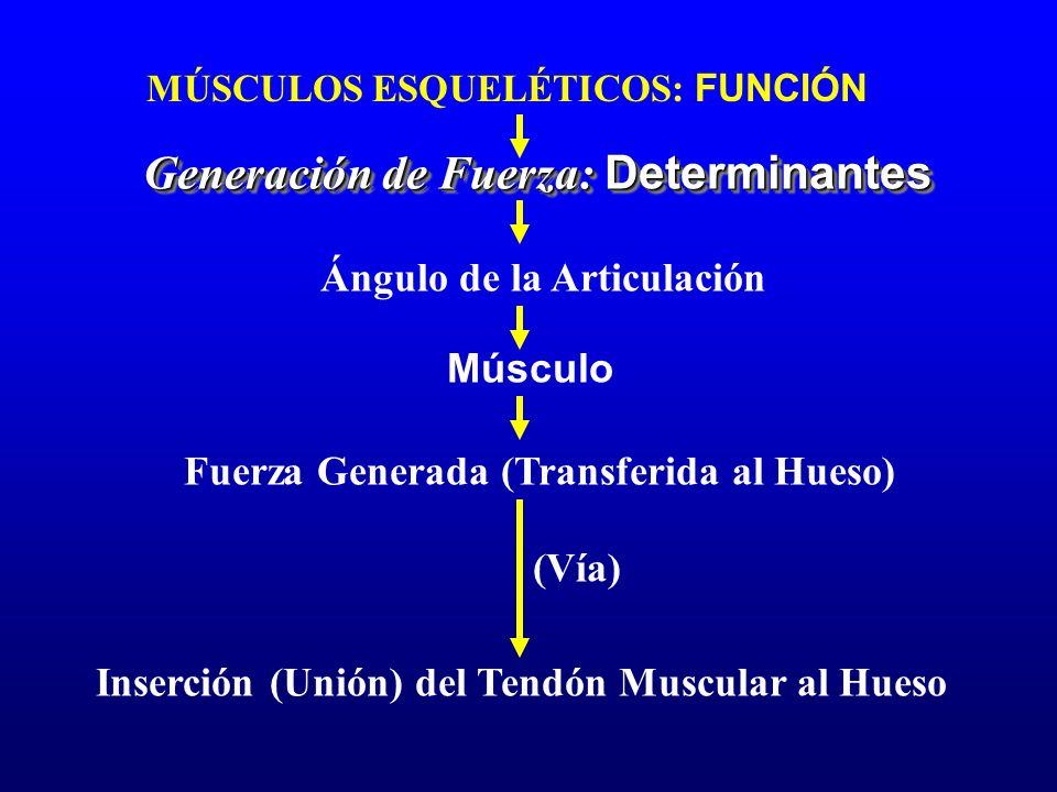 MÚSCULOS ESQUELÉTICOS: FUNCIÓN Generación de Fuerza: Determinantes Ángulo de la Articulación Músculo Fuerza Generada (Transferida al Hueso) Inserción