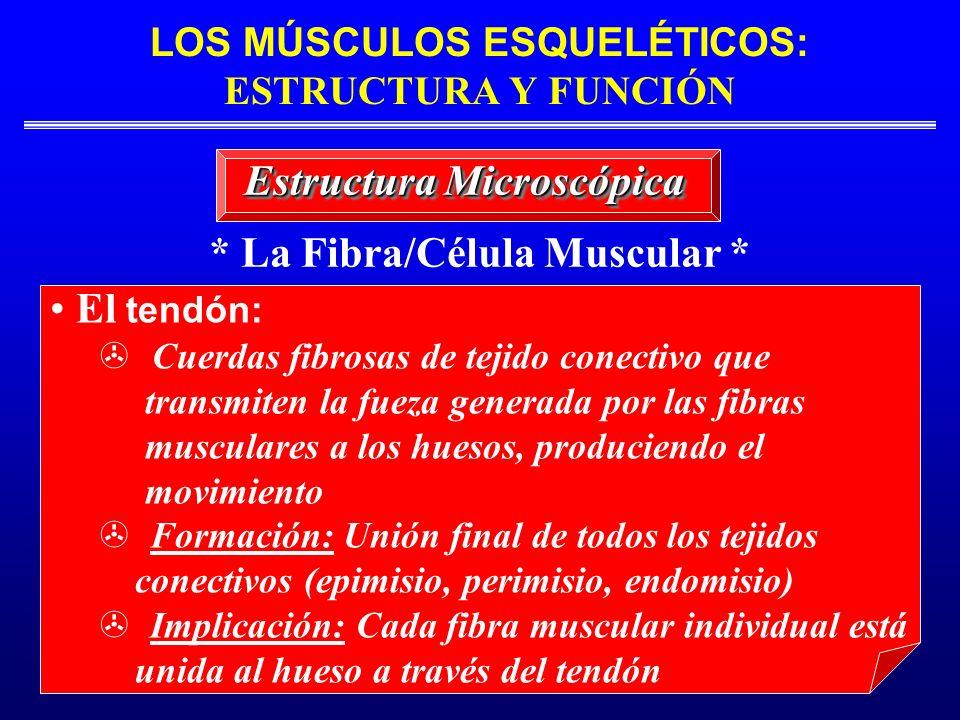* La Fibra/Célula Muscular * Estructura Microscópica El tendón: Cuerdas fibrosas de tejido conectivo que transmiten la fueza generada por las fibras m