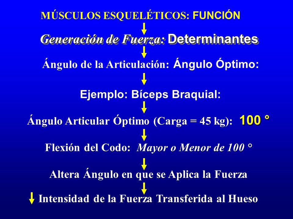 MÚSCULOS ESQUELÉTICOS: FUNCIÓN Generación de Fuerza: Determinantes Ángulo de la Articulación: Ángulo Óptimo: Ejemplo: Bíceps Braquial: 100 ° Ángulo Ar