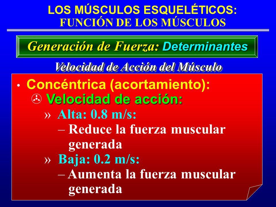 LOS MÚSCULOS ESQUELÉTICOS: FUNCIÓN DE LOS MÚSCULOS Velocidad de Acción del Músculo Concéntrica (acortamiento): Velocidad de acción: » Alta: 0.8 m/s: –
