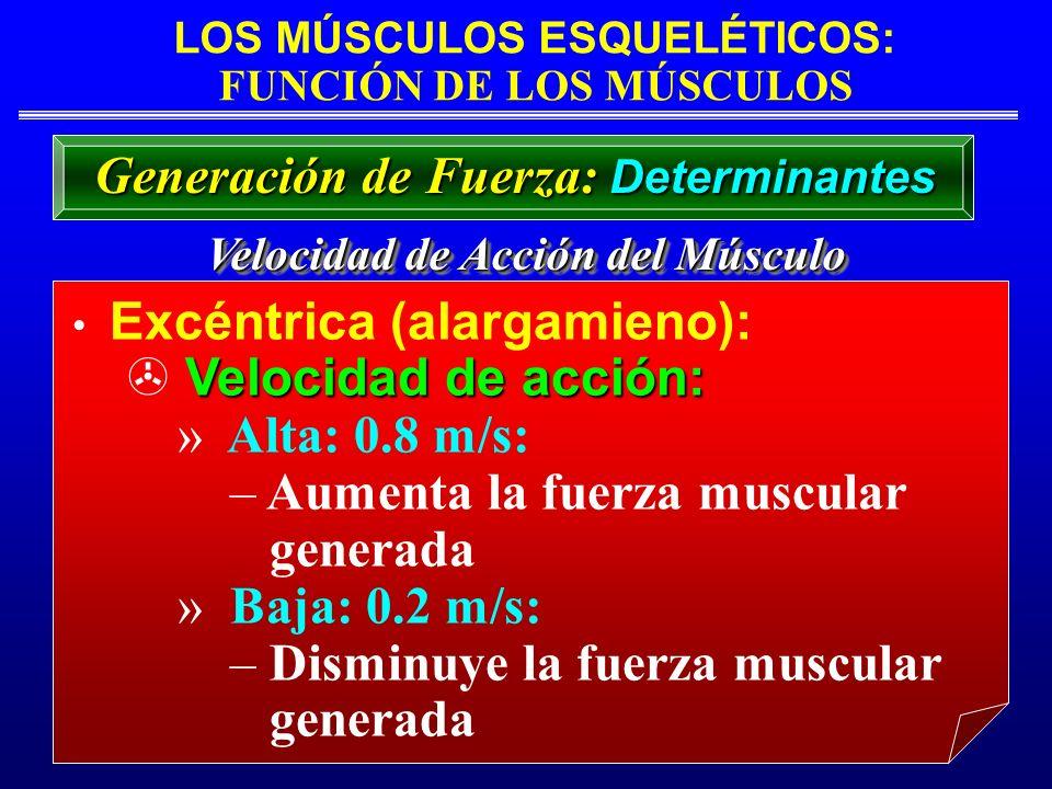 LOS MÚSCULOS ESQUELÉTICOS: FUNCIÓN DE LOS MÚSCULOS Velocidad de Acción del Músculo Excéntrica (alargamieno): Velocidad de acción: » Alta: 0.8 m/s: – A