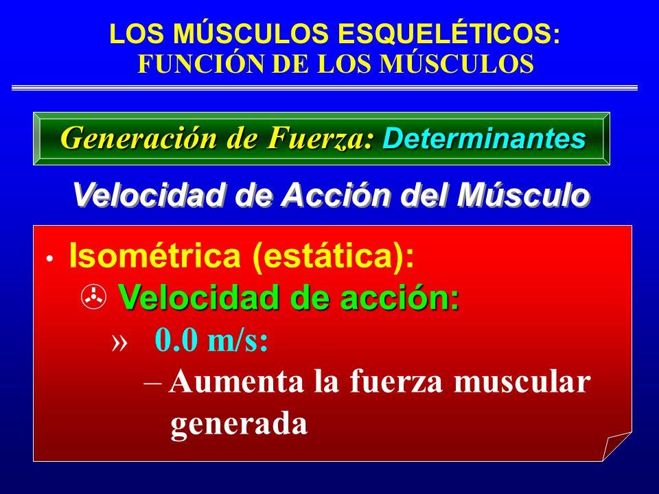 LOS MÚSCULOS ESQUELÉTICOS: FUNCIÓN DE LOS MÚSCULOS Velocidad de Acción del Músculo Isométrica (estática): Velocidad de acción: » 0.0 m/s: – Aumenta la