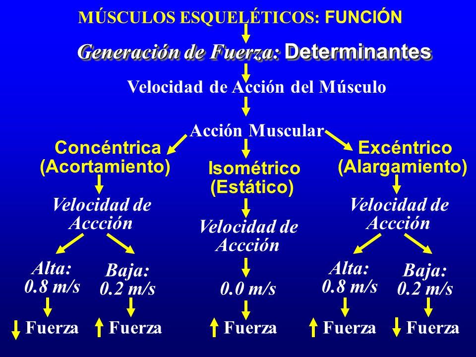 MÚSCULOS ESQUELÉTICOS: FUNCIÓN Generación de Fuerza: Determinantes Velocidad de Acción del Músculo Velocidad de Accción Acción Muscular Concéntrica (A