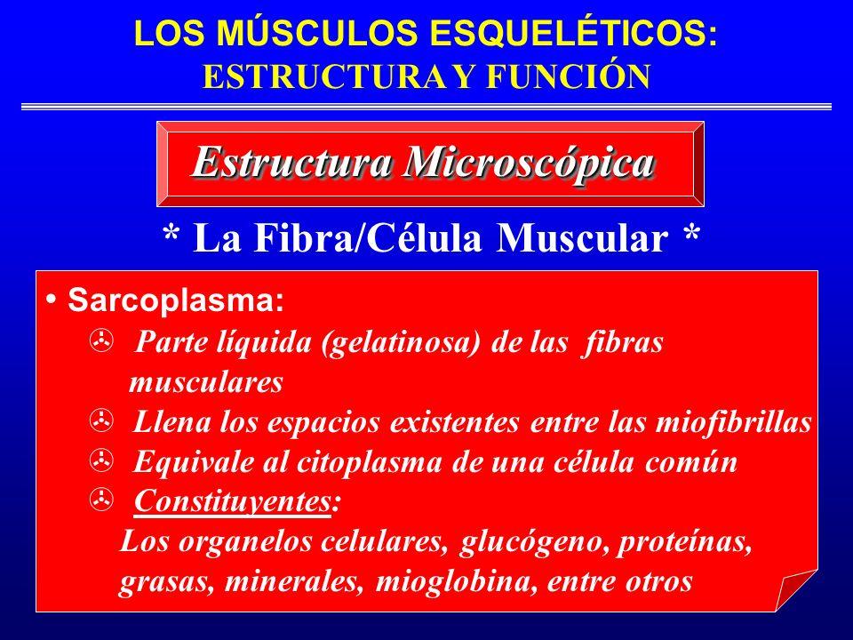 * La Fibra/Célula Muscular * Estructura Microscópica Sarcoplasma: Parte líquida (gelatinosa) de las fibras musculares > Llena los espacios existentes