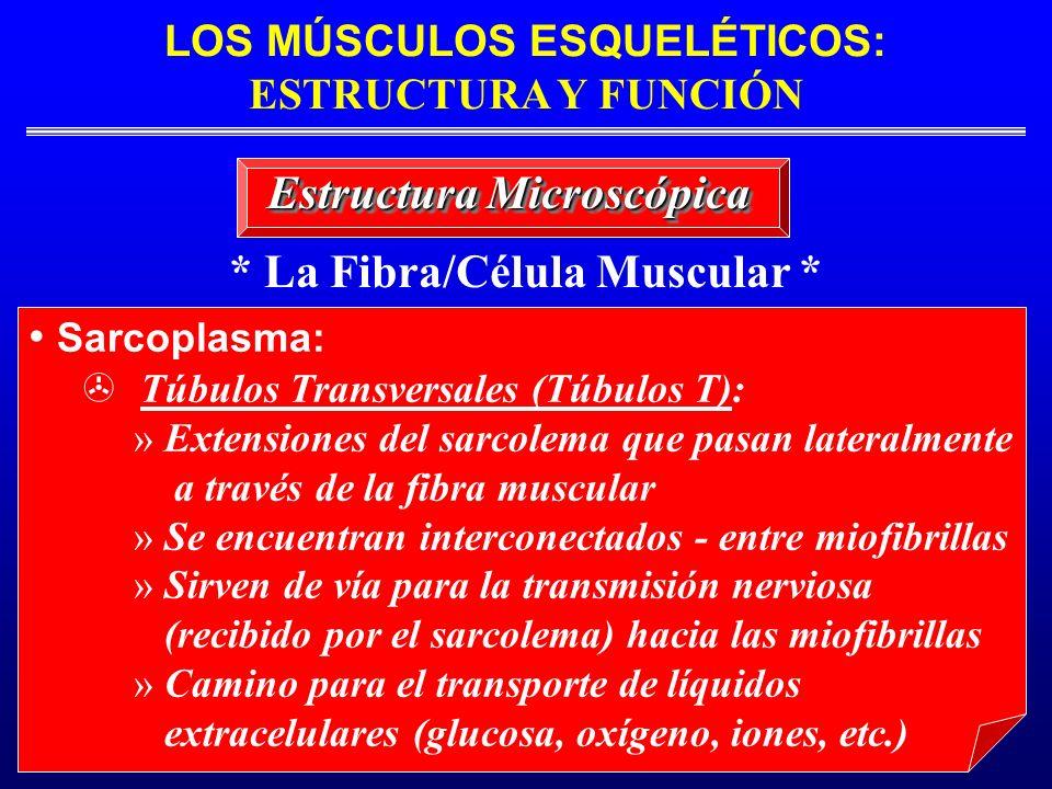 * La Fibra/Célula Muscular * Estructura Microscópica Sarcoplasma: Túbulos Transversales (Túbulos T): » Extensiones del sarcolema que pasan lateralment
