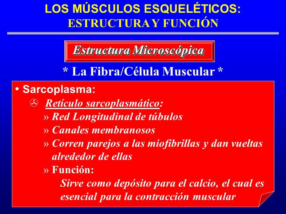 * La Fibra/Célula Muscular * Estructura Microscópica Sarcoplasma: Retículo sarcoplasmático: » Red Longitudinal de túbulos » Canales membranosos » Corr