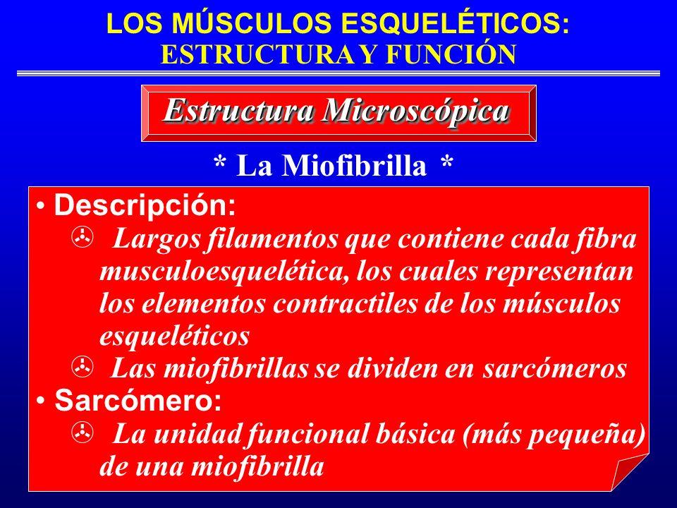 * La Miofibrilla * Estructura Microscópica Descripción: Largos filamentos que contiene cada fibra musculoesquelética, los cuales representan los eleme