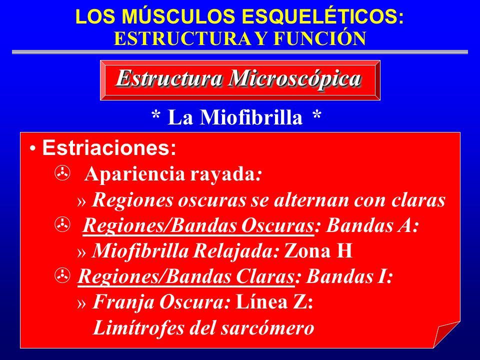 LOS MÚSCULOS ESQUELÉTICOS: ESTRUCTURA Y FUNCIÓN * La Miofibrilla * Estructura Microscópica Estriaciones: Apariencia rayada: » Regiones oscuras se alte