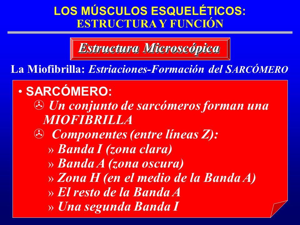 LOS MÚSCULOS ESQUELÉTICOS: ESTRUCTURA Y FUNCIÓN La Miofibrilla: Estriaciones-Formación del S ARCÓMERO Estructura Microscópica SARCÓMERO: > Un conjunto