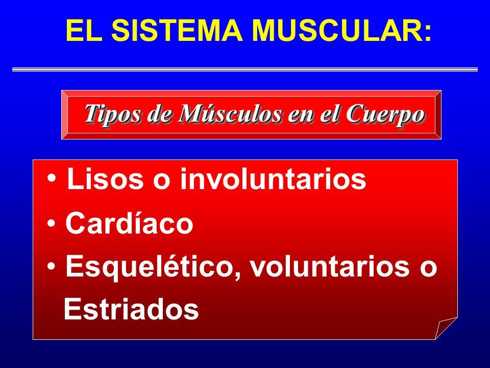 EL SISTEMA MUSCULAR: Lisos o involuntarios Cardíaco Esquelético, voluntarios o Estriados Tipos de Músculos en el Cuerpo