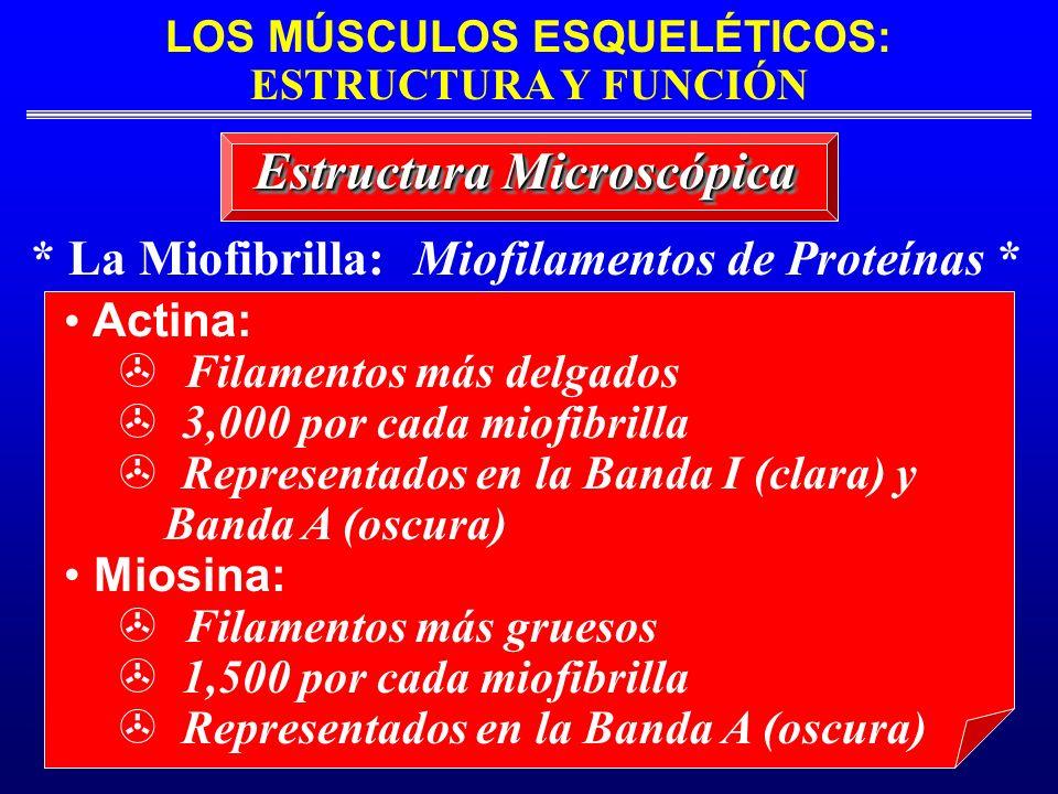 LOS MÚSCULOS ESQUELÉTICOS: ESTRUCTURA Y FUNCIÓN * La Miofibrilla: Miofilamentos de Proteínas * Estructura Microscópica Actina: Filamentos más delgados