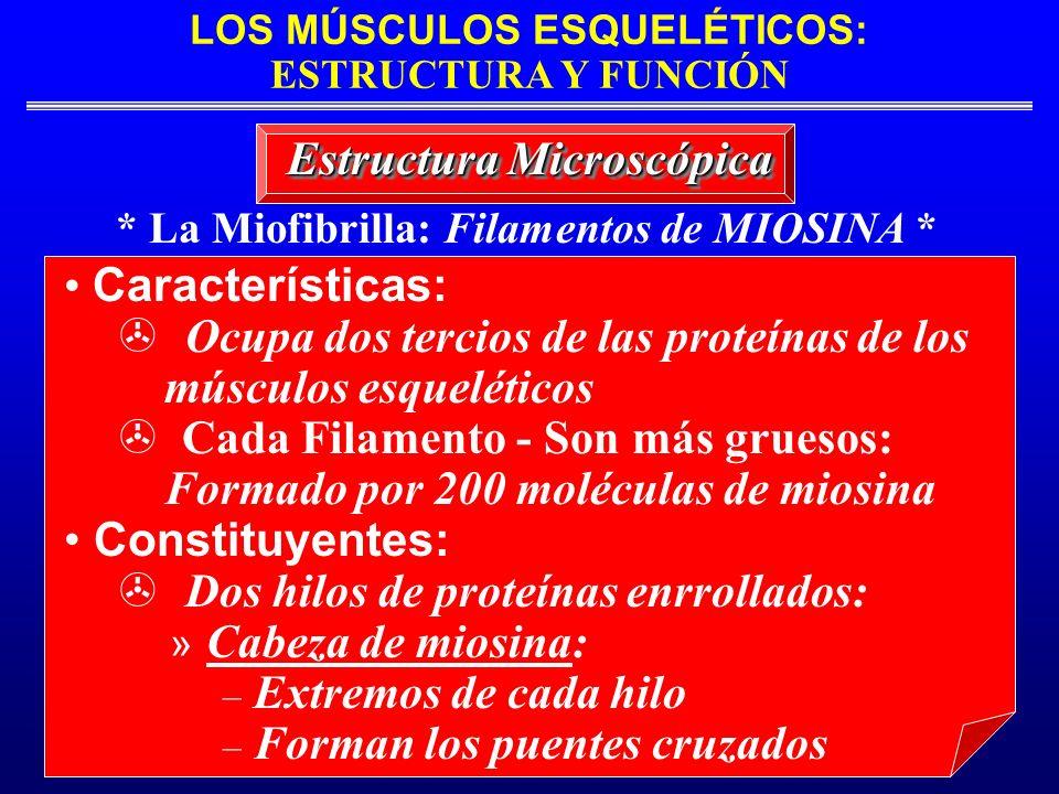 LOS MÚSCULOS ESQUELÉTICOS: ESTRUCTURA Y FUNCIÓN * La Miofibrilla: Filamentos de MIOSINA * Estructura Microscópica Características: Ocupa dos tercios d